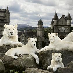 Пазл онлайн: Львы на фоне замка