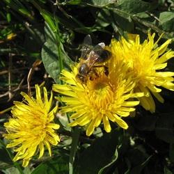 Пазл онлайн: Пчёлка и одуванчики