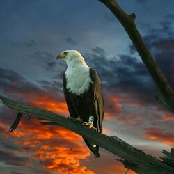 Пазл онлайн: Ястребиный орел