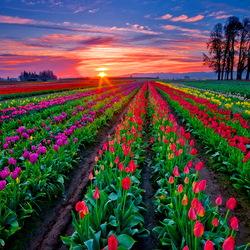 Пазл онлайн: Закат над тюльпанами