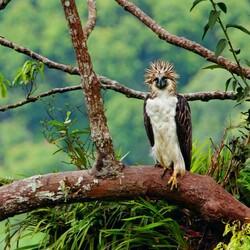 Пазл онлайн: Филлиппинский орел или гарпия