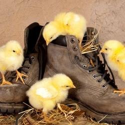 Пазл онлайн: Цыплята