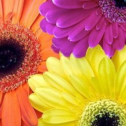 Пазл онлайн: Трехцвет