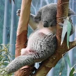 Пазл онлайн: Спящий коала