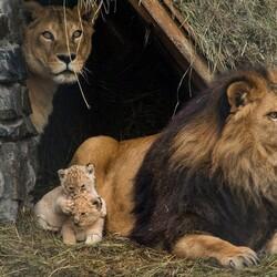 Пазл онлайн: Львиная семья в Новосибирском зоопарке