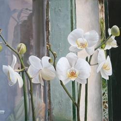 Пазл онлайн: Белые орхидеи