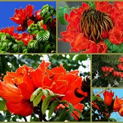 Пазл онлайн: Тюльпанное дерево