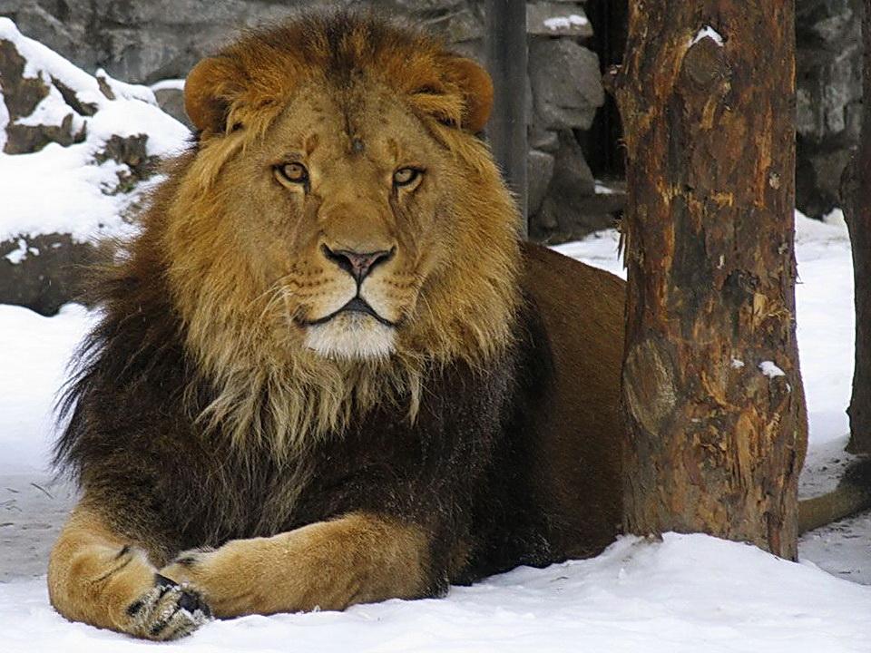 Картинка льва зимой