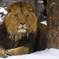 Пазл онлайн: Лев зимой