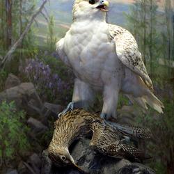 Пазл онлайн: Белый кречет