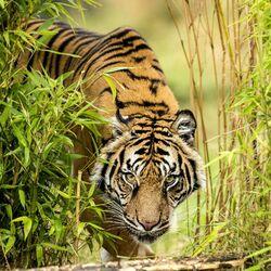 Пазл онлайн: Амурский тигр