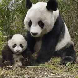 Пазл онлайн: Панда с малышом