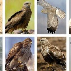 Пазл онлайн: Хищные птицы