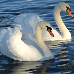 Пазл онлайн: Пара лебедей