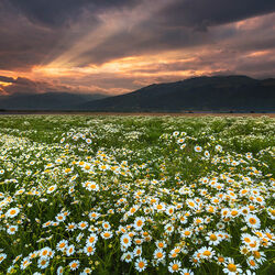 Пазл онлайн: Ромашковое поле