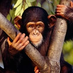 Пазл онлайн: Шимпанзе