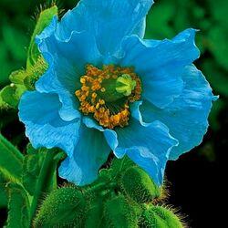 Пазл онлайн: Гималайский голубой мак