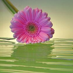 Пазл онлайн: Розовая гербера
