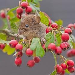 Пазл онлайн: Мышонок в ягодах