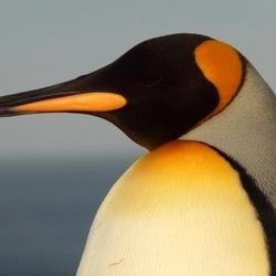 Пазл онлайн: Королевский пингвин