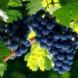 Пазл онлайн: Солнечный виноград