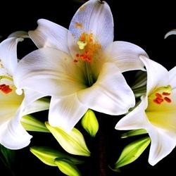 Пазл онлайн: Белые лилии