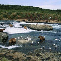 Пазл онлайн: Медведи на реке