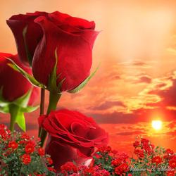 Пазл онлайн: Розы на закате