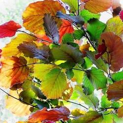 Пазл онлайн: Листья на просвет