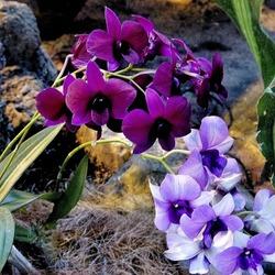 Пазл онлайн: Фестиваль орхидей
