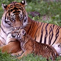 Пазл онлайн: Тигрица с детенышем