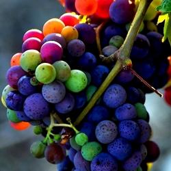 Пазл онлайн: Радужный виноград