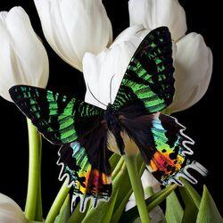 Пазл онлайн: Марроканская бабочка и тюльпаны