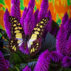Пазл онлайн: Бабочка на пурпурной целозии