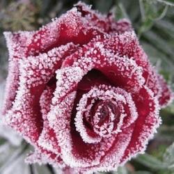 Пазл онлайн: Роза в кристаллах льда