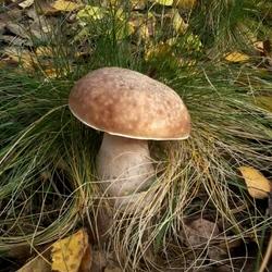 Пазл онлайн: Белый гриб