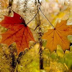 Пазл онлайн: Кленовые листья