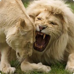 Пазл онлайн: Белые львы