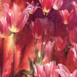 Пазл онлайн: Розовые тюльпаны