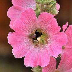 Пазл онлайн: Розовая мальва