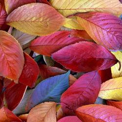 Пазл онлайн: Осенние листья
