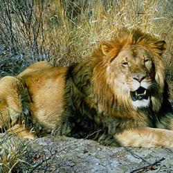 Пазл онлайн: Царь зверей