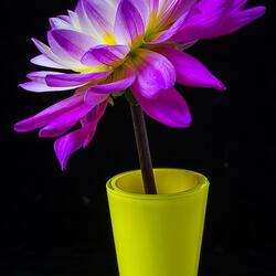 Пазл онлайн: Розовый георгин в желтой вазе