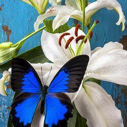 Пазл онлайн: Синяя бабочка на белой лилии