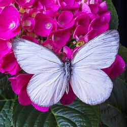 Пазл онлайн: Белый мотылек