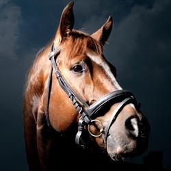 Пазл онлайн: Лошадь