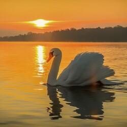 Пазл онлайн: Лебедь на воде