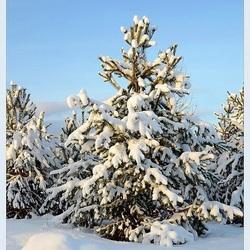 Пазл онлайн: В лесу родилась елочка