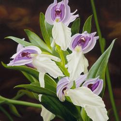 Пазл онлайн: Царские орхидеи