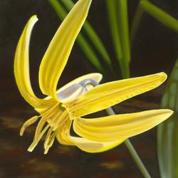 Пазл онлайн: Жёлтая лилия